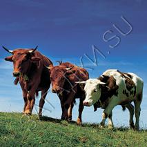 Загадки про быка