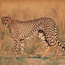 Загадки-про-гепарда