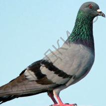Загадки про голубей