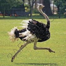 Загадки про страуса
