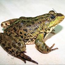 Загадки про жабу
