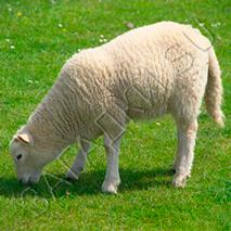 Загадки про овцу