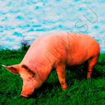 Загадки про свинью