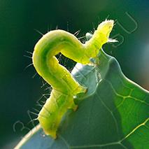 Загадки про гусеницу