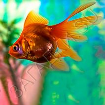 Загадки про золотую рыбку
