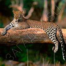 Загадки про леопарда