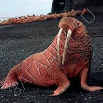 Загадки про моржа
