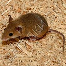 Загадки про мышей