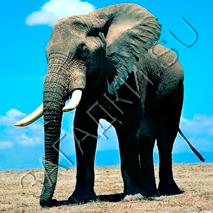 Загадки про слона