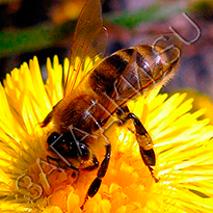 Загадки про пчелу