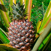 Загадки про ананас