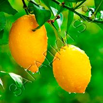 Загадки про лимон
