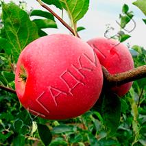Загадки про яблоко