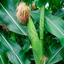 Загадки про кукурузу