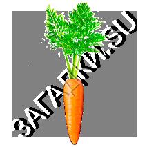Загадки про морковь